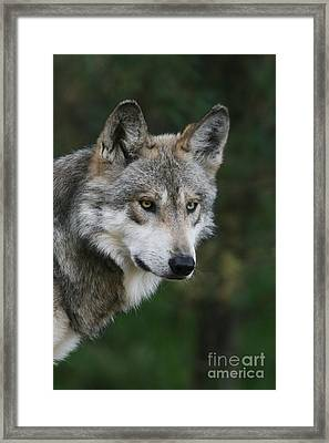 Mexican Wolf #4 Framed Print