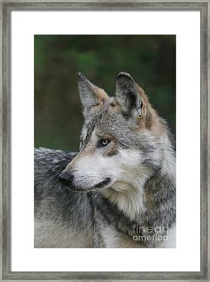 Mexican Wolf #6 Framed Print by Judy Whitton