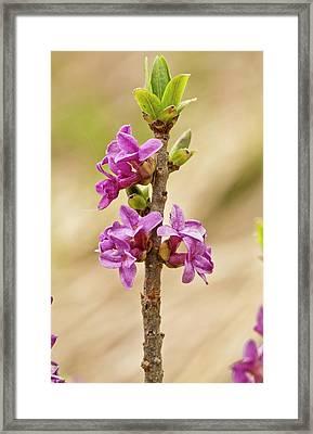Mezereon (daphne Mezereum) In Flower Framed Print by Bob Gibbons