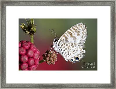 Miami Blue Butterfly I Framed Print by Pamela Gail Torres