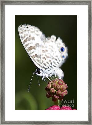 Miami Blue II Framed Print by Pamela Gail Torres
