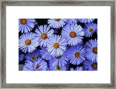 Framed Print featuring the photograph Michaelmas Daisy's  by Geraldine Alexander