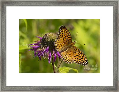 Michigan Fritillary Framed Print
