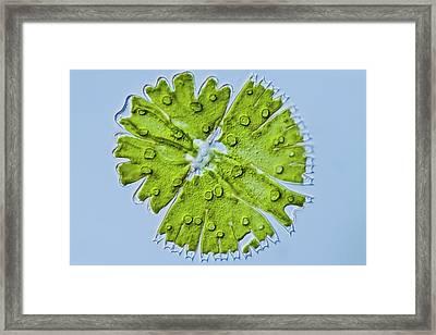 Micrasterias Sp. Green Alga Framed Print by Gerd Guenther