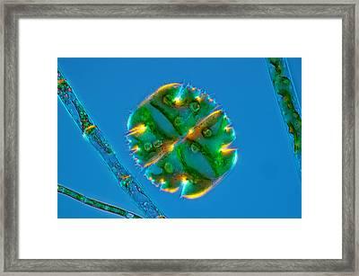 Micrasterias Truncata And Filamentous Framed Print by Marek Mis