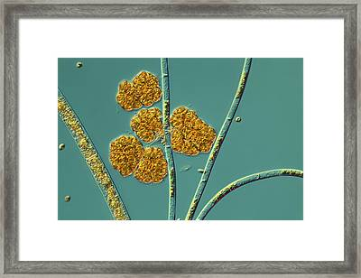 Microalgae, Light Micrograph Framed Print by Science Photo Library