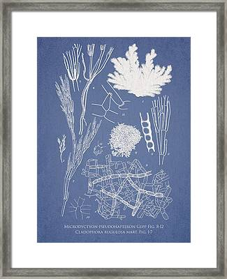 Microdyctyon And Cladophora Framed Print by Aged Pixel
