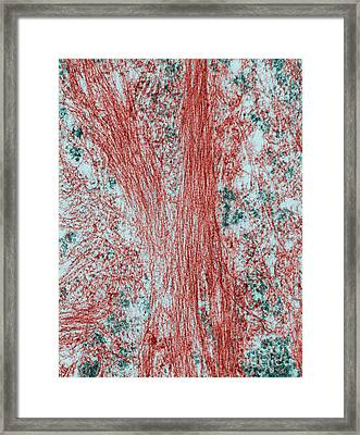 Microfilaments, Tem Framed Print by David M. Phillips