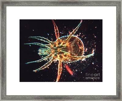Microscopic Enlargement Of A Dust Mite Framed Print by The Harrington Collection