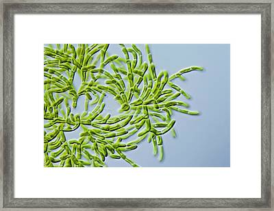 Microthamnion Sp. Green Alga Framed Print by Gerd Guenther