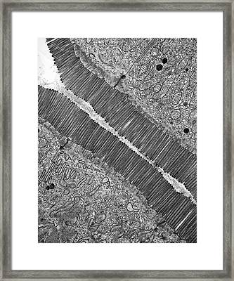Microvilli Framed Print by Microscape