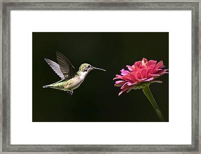 Mid Air Hummingbird Framed Print