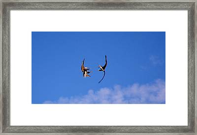 Mid Air Mating Dance Framed Print