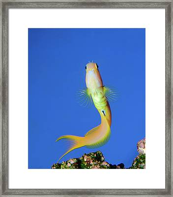 Midas Blenny Framed Print