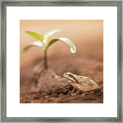 Middle East Tree Frog Framed Print by Photostock-israel