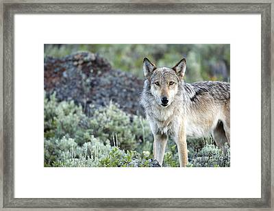 Middle Gray Of Yellowstone Framed Print