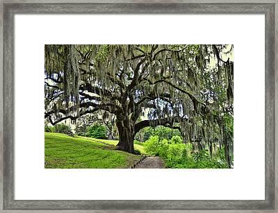 Middleton Place Oak  Framed Print by Allen Beatty