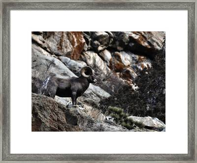 Framed Print featuring the photograph Midnight Ram-bler by Kevin Munro