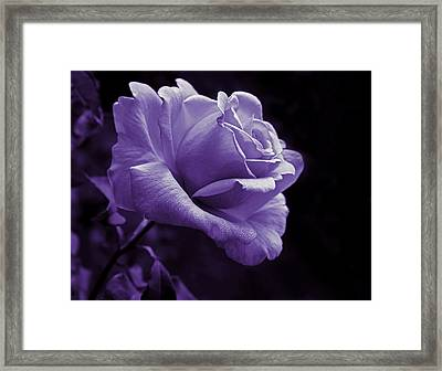 Midnight Rose Flower In Lavender Framed Print by Jennie Marie Schell