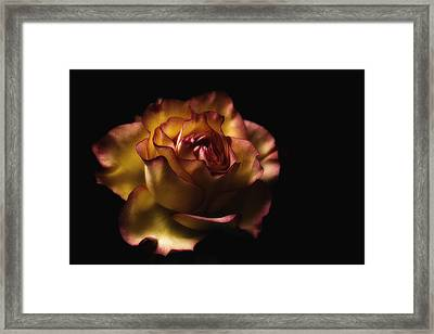Midnight Rose Framed Print
