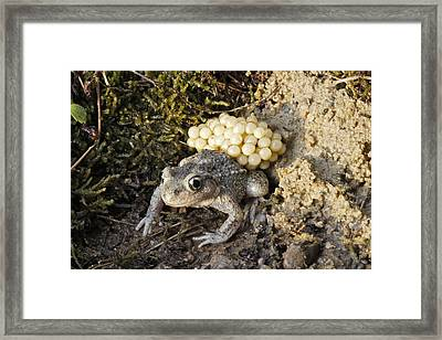 Midwife Toad With Eggs Framed Print
