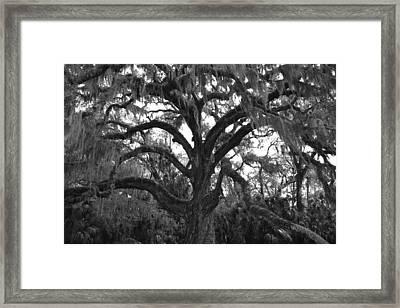 Mighty Oak Framed Print by Kimberly Oegerle