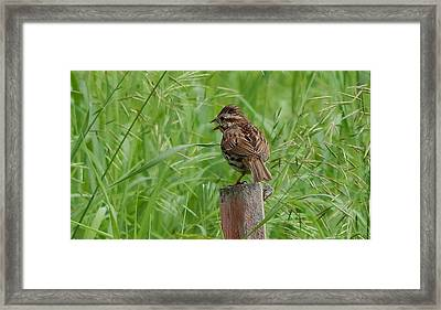 Mighty Sparrow Framed Print