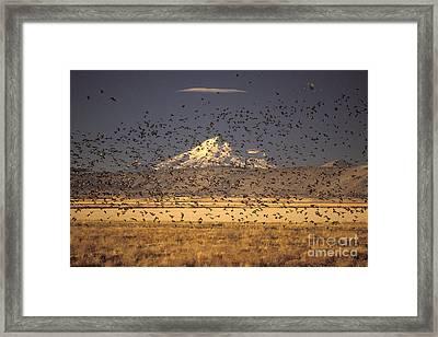 Migrating Flock Canada Geese Framed Print