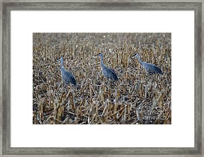 Migrating Sandhill Cranes Framed Print by Robert Bales