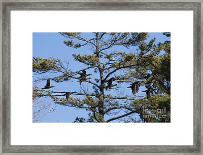 Migrating Wood Ducks Framed Print
