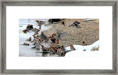 Migratory  Framed Print by Kathy Bassett