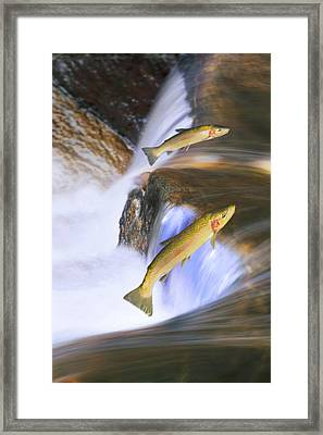 Miigrating Steelhead Salmon Leaping Framed Print