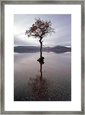 Milarrochy Bay Tree Framed Print by Grant Glendinning