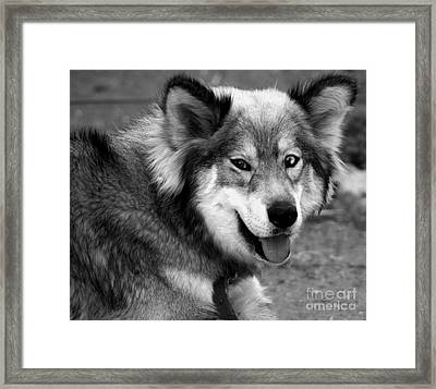 Miley The Husky With Blue And Brown Eyes - Black And White Framed Print