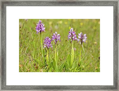 Military Orchid (orchis Militaris) Framed Print