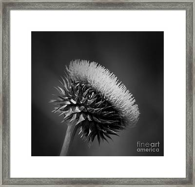 Milk Thistle Bw Framed Print by Maria Urso