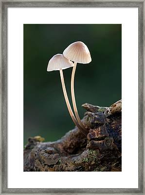 Milking Bonnet Fungi (mycena Galopus) Framed Print by Nigel Downer