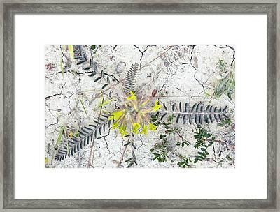 Milkvetch (astragalus Caprinus Laniger) Framed Print by Bob Gibbons