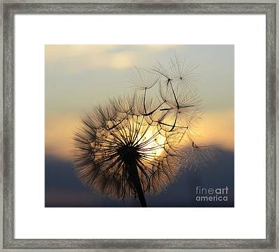 Milkweed 5 Framed Print by Bob Christopher