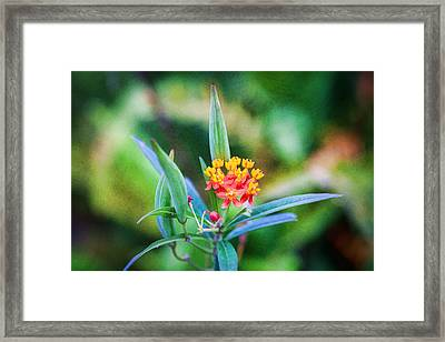 Milkweed Butterfly Weed Framed Print by Rich Franco