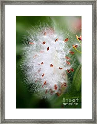 Milkweed Explosion Framed Print by Sabrina L Ryan