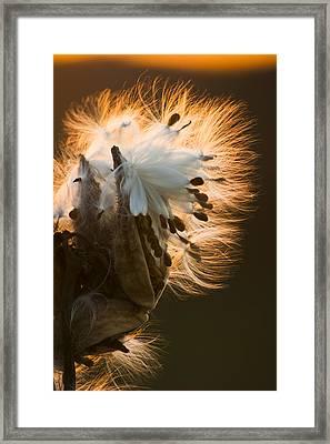 Milkweed Seed Pod Framed Print