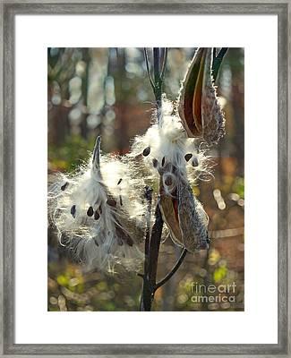 Milkweed Seed Pods Back-lit In Marsh Framed Print by Anna Lisa Yoder