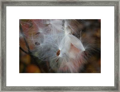 Milkweed Seed Framed Print by Steph Maxson