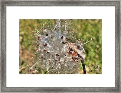 Milkweed Seedpod Framed Print