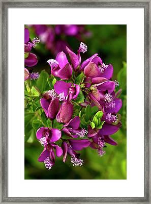 Milkwort (polygala Myrtifolia) Framed Print by Bob Gibbons