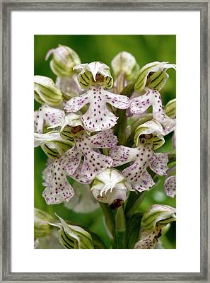 Milky Orchid (orchis Lactea) Framed Print
