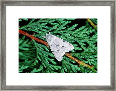 Miller Moth (acronicta Leporina) Framed Print by Tony Wood/science Photo Library