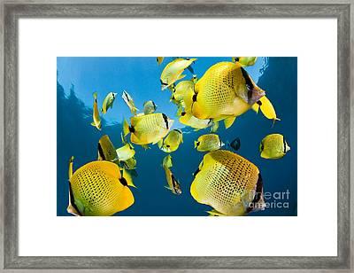 Millet Butterflyfish Framed Print by David Fleetham