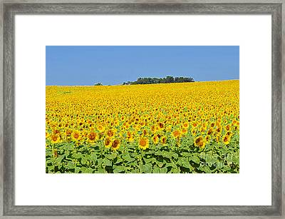 Millions Of Sunflowers Framed Print
